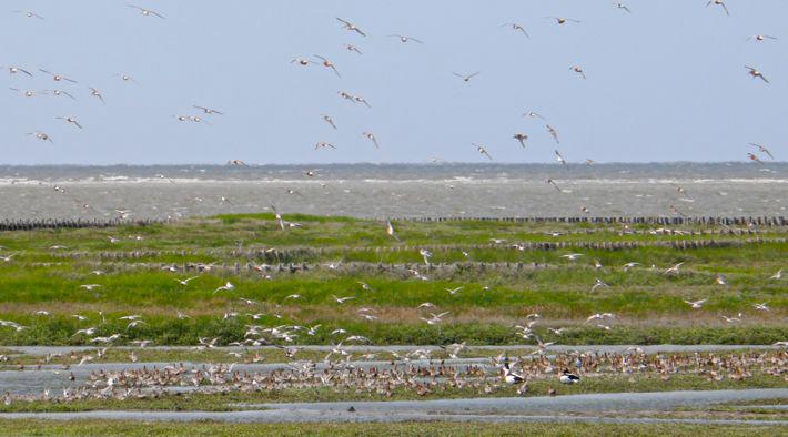 Zugvögel im Wattenmmer