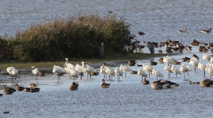 Führungen am Vogelschutzgebiet Hauke-Haien-Koog